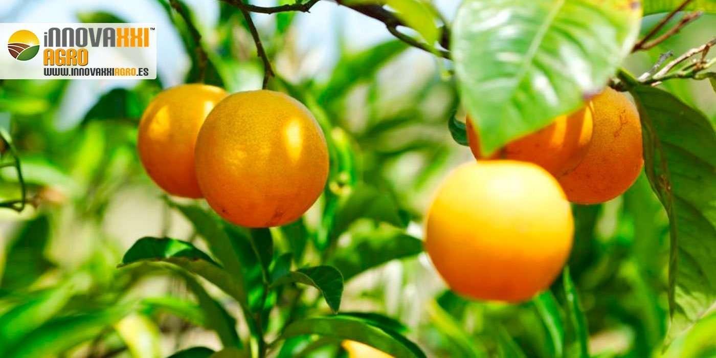 naranjas en ramas