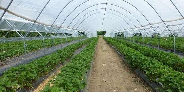 invernadero tipo túnel de fresas