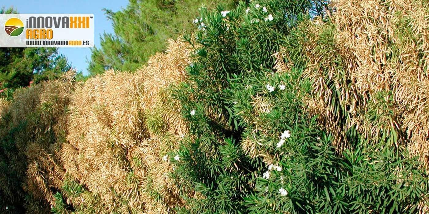 Xylella Fastidiosa atacando una planta